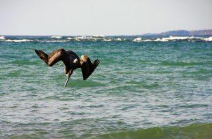 pelican manuel antonio