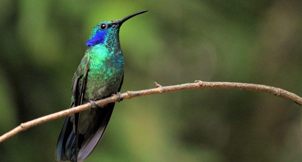 Hummingbird San Ramon Bajos