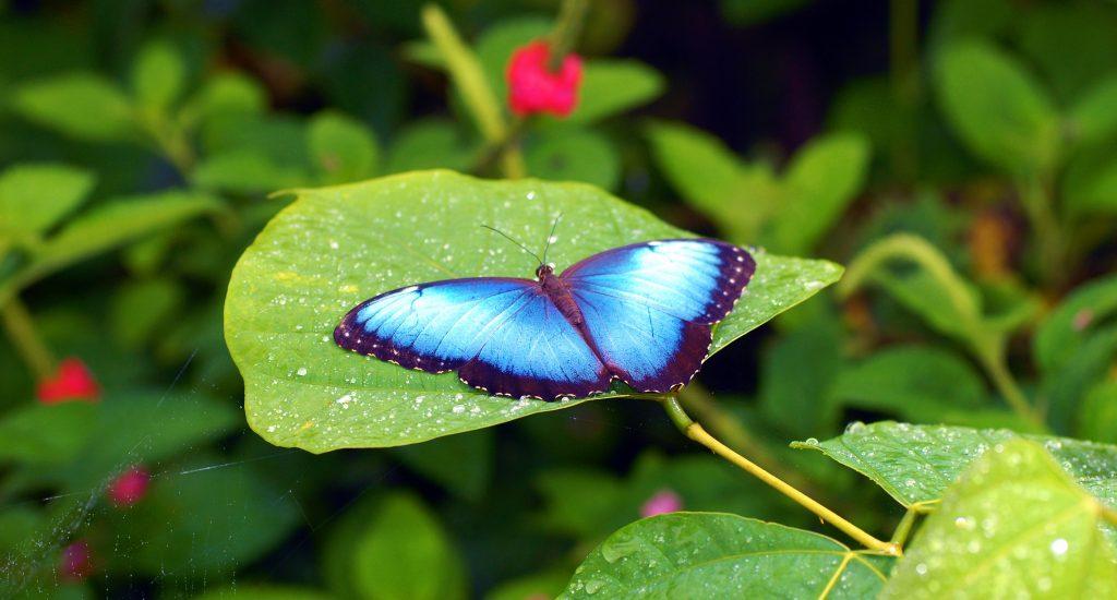 butterfly monteverde