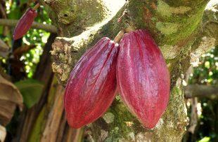 Cacao Sarapiqui