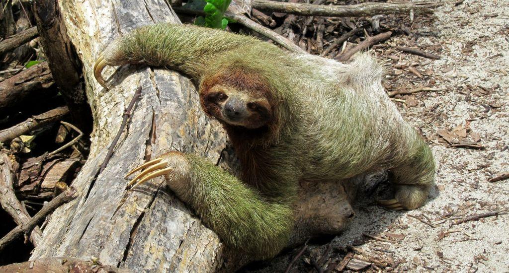 sloth caribbean