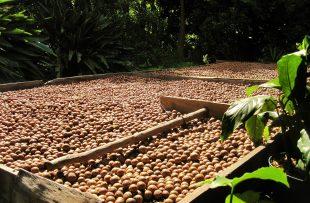 macadamia-nut-912598