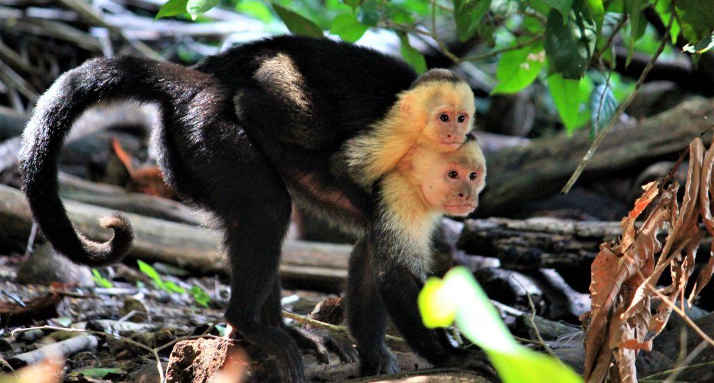 monkey Caribbean Coast