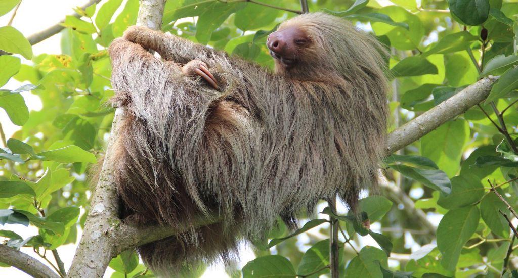 sloth corcovado