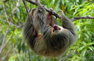 sloth manuel antonio